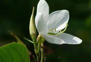 Sự tích hoa ban trắng