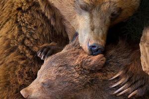 Xúc động 20 năm bị mặc áo sắt rút mật, gấu mẹ giết gấu con rồi tự tử