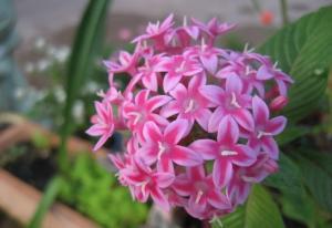 Hoa phụng tiên (hoa móng tay)